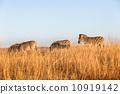 野生生物 動物 斑馬 10919142