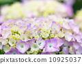 八仙花屬在雨天 10925037