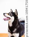 tongue Inu Shiba 10941750