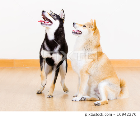 Two shiba dog at home 10942270