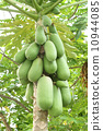 papaya on the tree 10944085