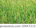 Cereal rice fields with ripe spikes 10947215