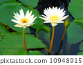 two white lotus flower 10948915