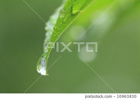 잎에서 유출 물방울 10963830