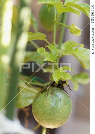 passion fruit 10966516