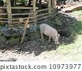 돼지, 기르는, 가축 10973977
