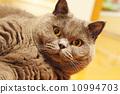 british shorthair, short-haired, fat cat 10994703