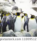 Emperor penguins 11009512