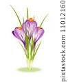 Spring Flowers. Purple crocuses on white background 11012160