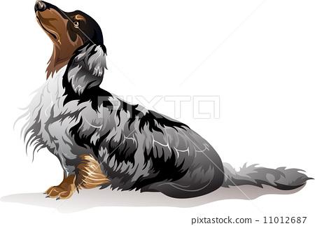 Dog breed dachshund 11012687
