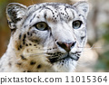 leopard, irbis, animal 11015364