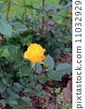 노란 장미 11032929