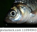 Freshwater fish for food 11094943