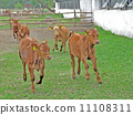 Calves 11108311