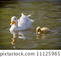 duckling duck water 11125965