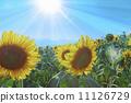 sunflower, sky, sunflowers 11126729