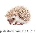 宠物 刺猬 多刺的 11140211