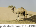 Camel standing on the sand dune, Dubai United Arab Emirates 11154998