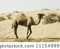 Camel standing on the sand dune, Dubai, United Arab Emirates 11154999