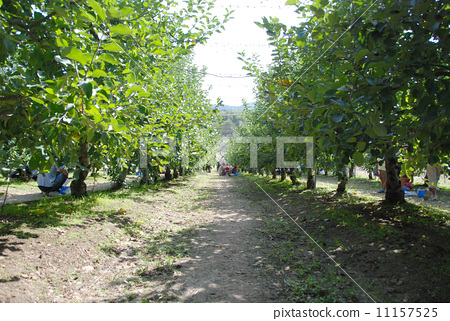 Apple orchard Apple picking Apple orchard 11157525