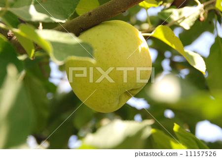 Apple picking Apple field Apple garden 11157526