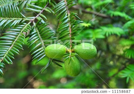 Kaya fruit 11158687