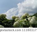 하이드 란 지아 애너벨라는 수국의 흰 꽃과 흰 구름 11160317