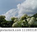 하이드 란 지아 애너벨라는 수국의 흰 꽃과 흰 구름 11160318