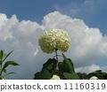 하이드 란 지아 애너벨라는 수국의 흰 꽃과 흰 구름 11160319