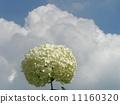 하이드 란 지아 애너벨라는 수국의 흰 꽃과 흰 구름 11160320