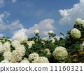 하이드 란 지아 애너벨라는 수국의 흰 꽃과 흰 구름 11160321