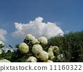하이드 란 지아 애너벨라는 수국의 흰 꽃과 흰 구름 11160322