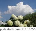하이드 란 지아 애너벨라는 수국의 흰 꽃과 흰 구름 11162255