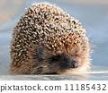 cute hedgehog 11185432