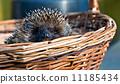 cute hedgehog in basket 11185434