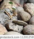 lizard 11201258