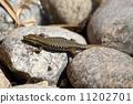 lizard 11202701