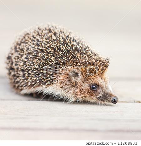 Hedgehog 11208833