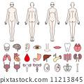 ร่างกายมนุษย์และอวัยวะภายในของชายและหญิง 11213845