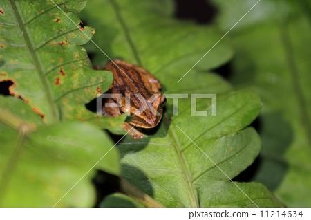 四線樹蛙 11214634