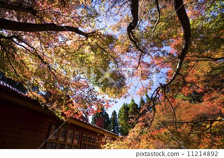 秋天的楓葉 11214892
