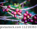 Coffee beans ripening on tree in North of thailand 11216363