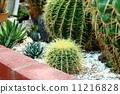Cactus 11216828