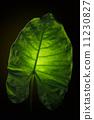 Green elephant ear leaf with back light on black background. 11230827