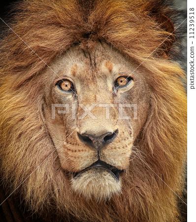 Portrait of a majestic lion 11239518