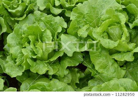 Growing vegetables 11282950
