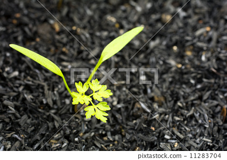 발아 한 차빌 잎 11283704