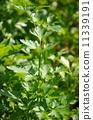 parsley on vegetable garden 11339191