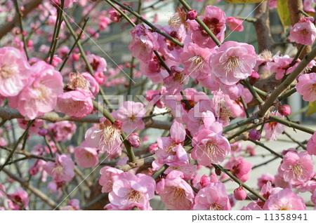 Peach Blossom 11358941