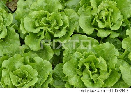蔬菜 11358949